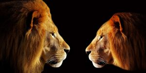 Get people to respect you two lions